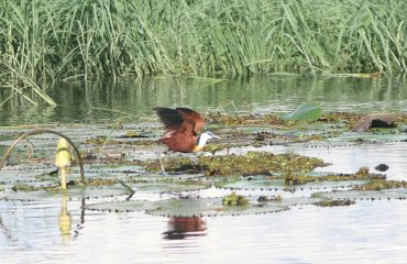 Caprivi jacana begin vlieg waterlelies