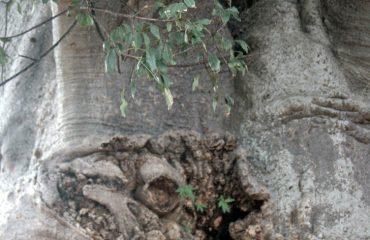 Impalila Baobab bast vrug