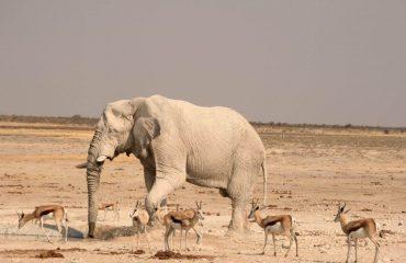 Etosha olifant