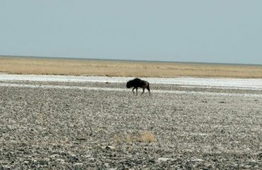 Etosha - pan en blou wildebees