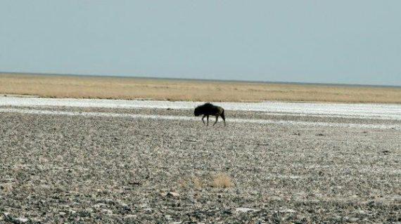 Etosha pan en blou wildebees